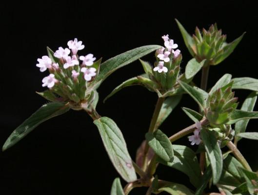 אבובית מקורקפת Ziziphora capitata L.