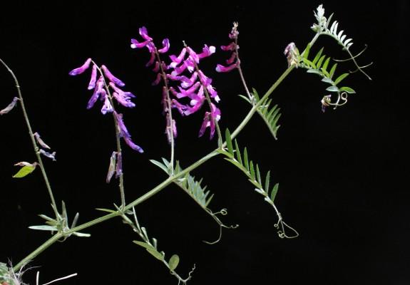 בקיה שעירה Vicia villosa Roth