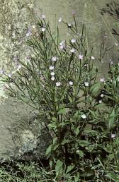 העלים מוצרים כלפי בסיסם ולעתים בעלי פטוטרת ואינם חובקים את הגבעול. גובה הצמחים 70-30 ס