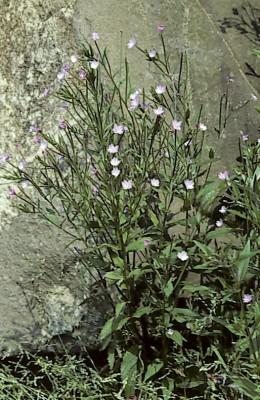 ערברבה קטנת-פרחים Epilobium parviflorum Schreb.