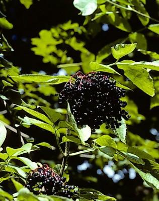 סמבוק שחור Sambucus nigra L.