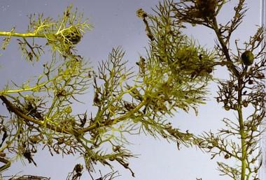 צמחי-מים חסרי שורשים שעליהם טבועים במים, פרחיהם נישאים על עוקץ הבולט  המים.