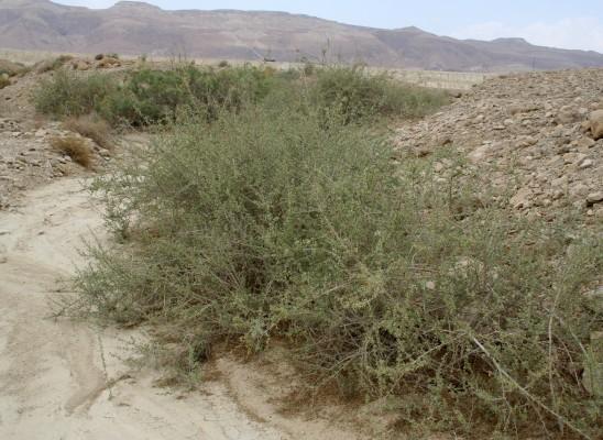 ימלוח פגום Nitraria retusa (Forssk.) Asch.