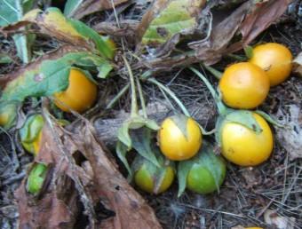 הפרי ענבה עסיסית כדורית צבעה צהבהב עד כתום.