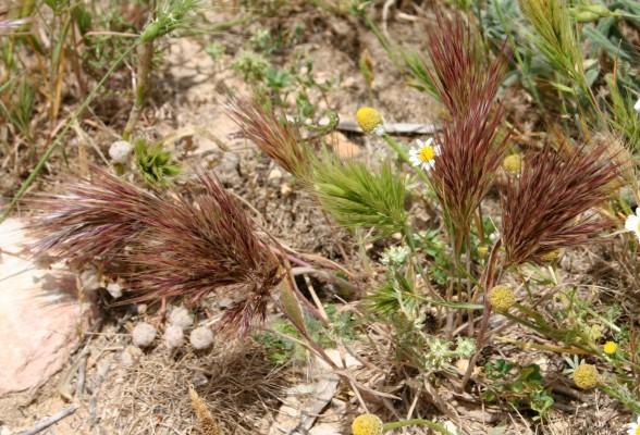 ברומית אדמונית Bromus rubens L.