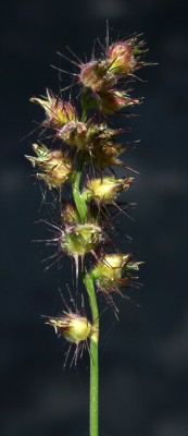 Cenchrus echinatus L.