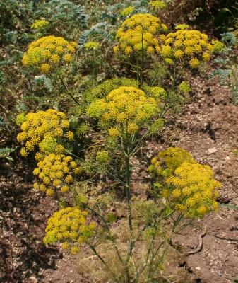 Ridolfia segetum (L.) Moris
