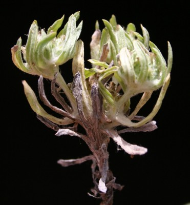 פילגון ארץ-ישראלי Filago palaestina (Boiss.) Chrtek & Holub