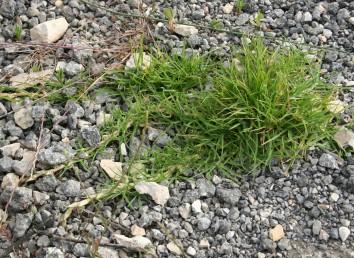 דגן רב-שנתי שרוע, פליט תרבות מדשא שתול ומושקה.