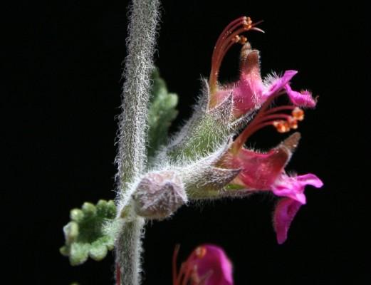 געדה מפושקת Teucrium divaricatum Heldr.