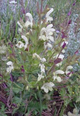 מרווה מלבינה Salvia samuelssonii Rech.f.
