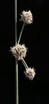 אגמון הכדורים Scirpus holoschoenus L.