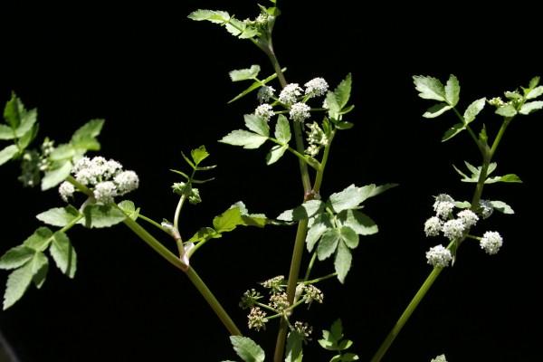 כרפס הביצות Apium nodiflorum (L.) Lag.