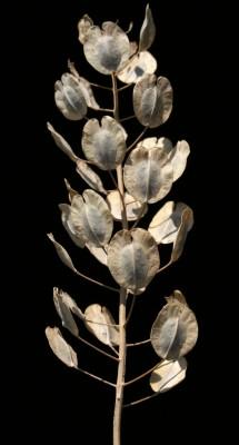 חופניים נדירים Thlaspi arvense L.