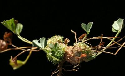 הקרקפות קטנות, מעטות פרחים, מרוכזות בחיקי עלים סמוך לצוואר השורש בקרבת הקרקע.