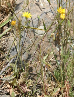 ניסנית מכונפת Crepis pterothecoides Boiss.