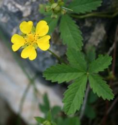 עשב רב-שנתי זוחל, בעל שלוחות ארוכות המשתרשות מהמפרקים. העלה מורכב מאוצבע. הפרחים בודדים על עוקצים ארוכים.