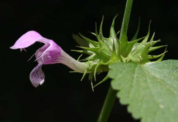 Lamium truncatum Boiss.