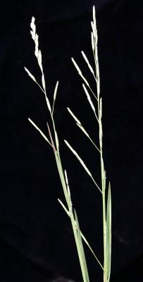 מתקה טובענית Glyceria notata A.Chev.