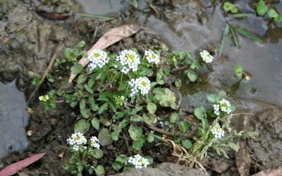 העלים גזורים לאונות דמויות ביצה שנראות כעלעלים. עשבים רב-שנתיים קירחים הגדלים ליד מעיינות ופלגים של מים מתוקים.