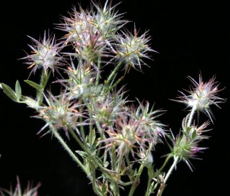 תלתן נאה Trifolium dasyurum C.Presl