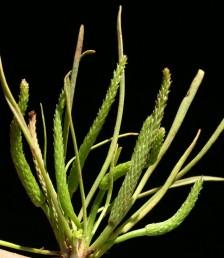 עשבים חד-שנתיים זעירים, קירחים. העלים דמויי סרגל, ערוכים בשושנת. הפרי המקובץ דמוי שיבולת ארוכה פי 10 מרוחבה.