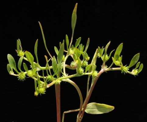 Ranunculus lateriflorus DC.