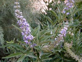 שיחים, העלים נגדיים, מאוצבעים, בני 7-5 עלעלים.