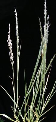 בן-חילף טף Eragrostis tef (Zuccagni) Trotter