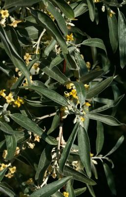 יצהרון מכסיף Elaeagnus angustifolia L.