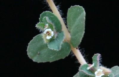 השערות מפושקות דלילות או צפופות. העלים דמויי ביצה, משוננים או חרוקים.