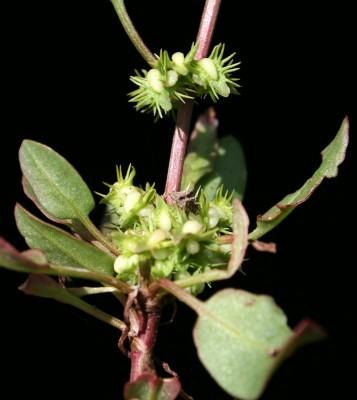 Rumex cassius Boiss.