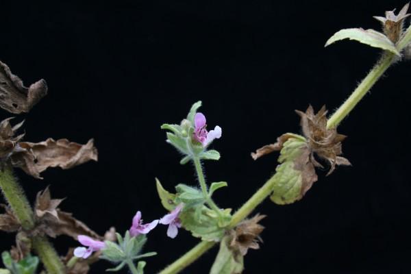 אשבל ערבי Stachys arabica Hornem.