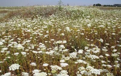 כשגדל ללא הפרעה על קרקעות חרסיתיות עמוקות יוצר משטחי פריחה רצופים כמעט מדי שנה בשנה.