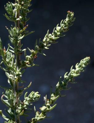 אוכם חופי Suaeda splendens (Pourr.) Gren. & Godr.