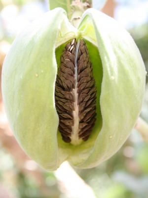 פתילת-המדבר הגדולה Calotropis procera (Aiton) Aiton f.