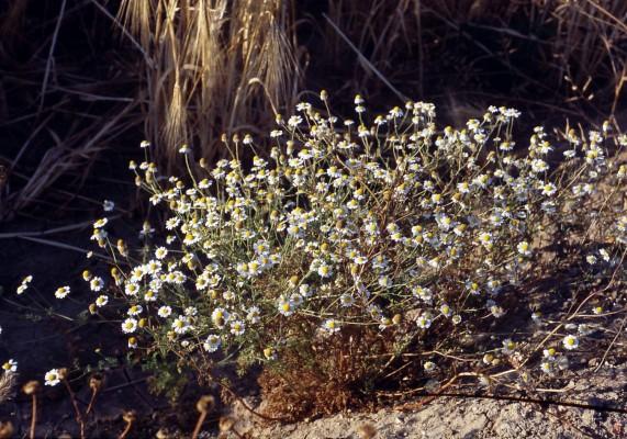 קחוון מקופח Anthemis cotula L.