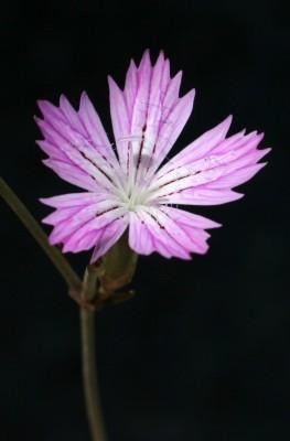 ציפורן נקוד Dianthus strictus Banks & Sol.