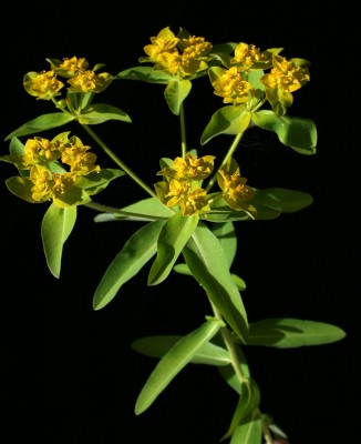 Euphorbia oblongata Griseb.