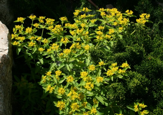 חלבלוב מוארך Euphorbia oblongata Griseb.