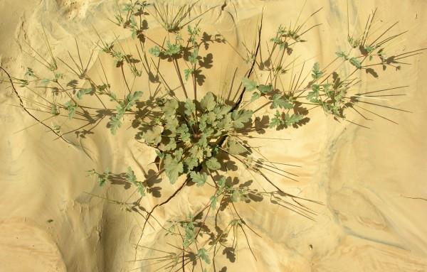 מקור-חסידה מלבין Erodium oxyrhynchum M.Bieb.