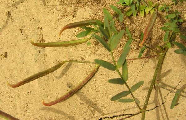 קדד דמשקאי Astragalus campylorrhynchus Fisch. & C.A.Mey.