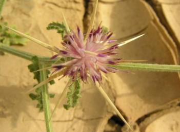צבע הפרחים עשוי להיות גם ורוד-ארגמן.