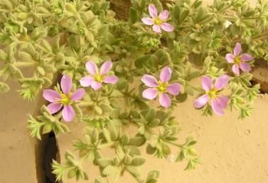 צמחים שעירים מאוד, שעירים, או מקריחים.