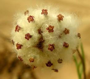 פרחים צינוריים אדומים, צנור הכותרת מכוסה צמר לבן המסייע להפצת הזירעון הבשל.