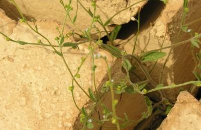 צמחים נדירים של דרום הערבה, זרעיהם הגיעו עם שטפונות מהרי אדום. צמחים שרועים תכולי-כותרת.