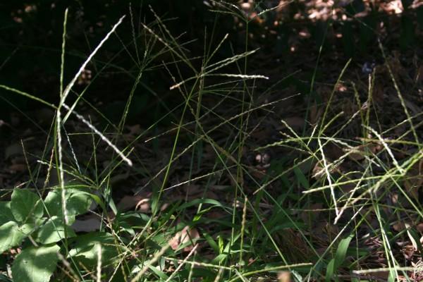 אצבען מאדים Digitaria sanguinalis (L.) Scop.