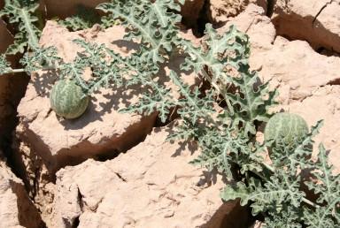 עשבים חד-שנתיים או רב-שנתיים, שרועים, בעלי קנוקנות. העלים דמויי לב בבסיסם, מחולקים-מנוצים ל-5-3 אונות.