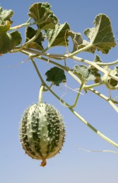 צמחים שרועים או מטפסים, העלה מחולק מנוצה ל-3 אונות, הפרי מכוסה זיפים קשים או שיכים.