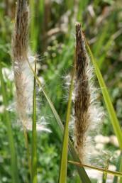 התפרחת הגלילית מתפרק בהדרגה ובמקביל התפרשות שערות מסייע להפצה ברוח.